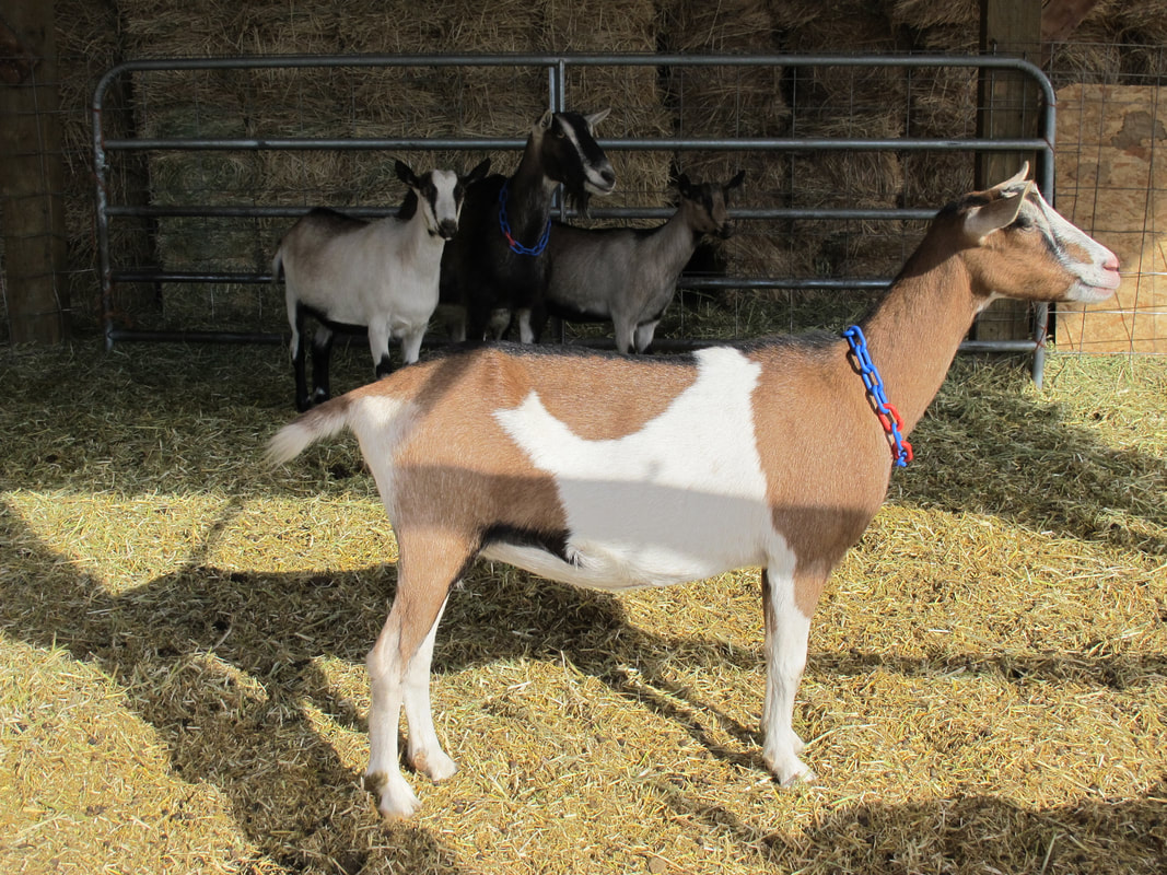 Alpines Color Patterns Pudasjarvi Dairy Goats